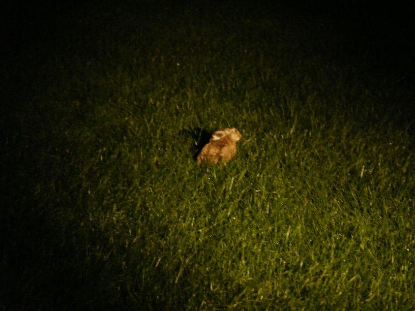 Feldhase im Scheinwerferkegel - © C. v. Dollen