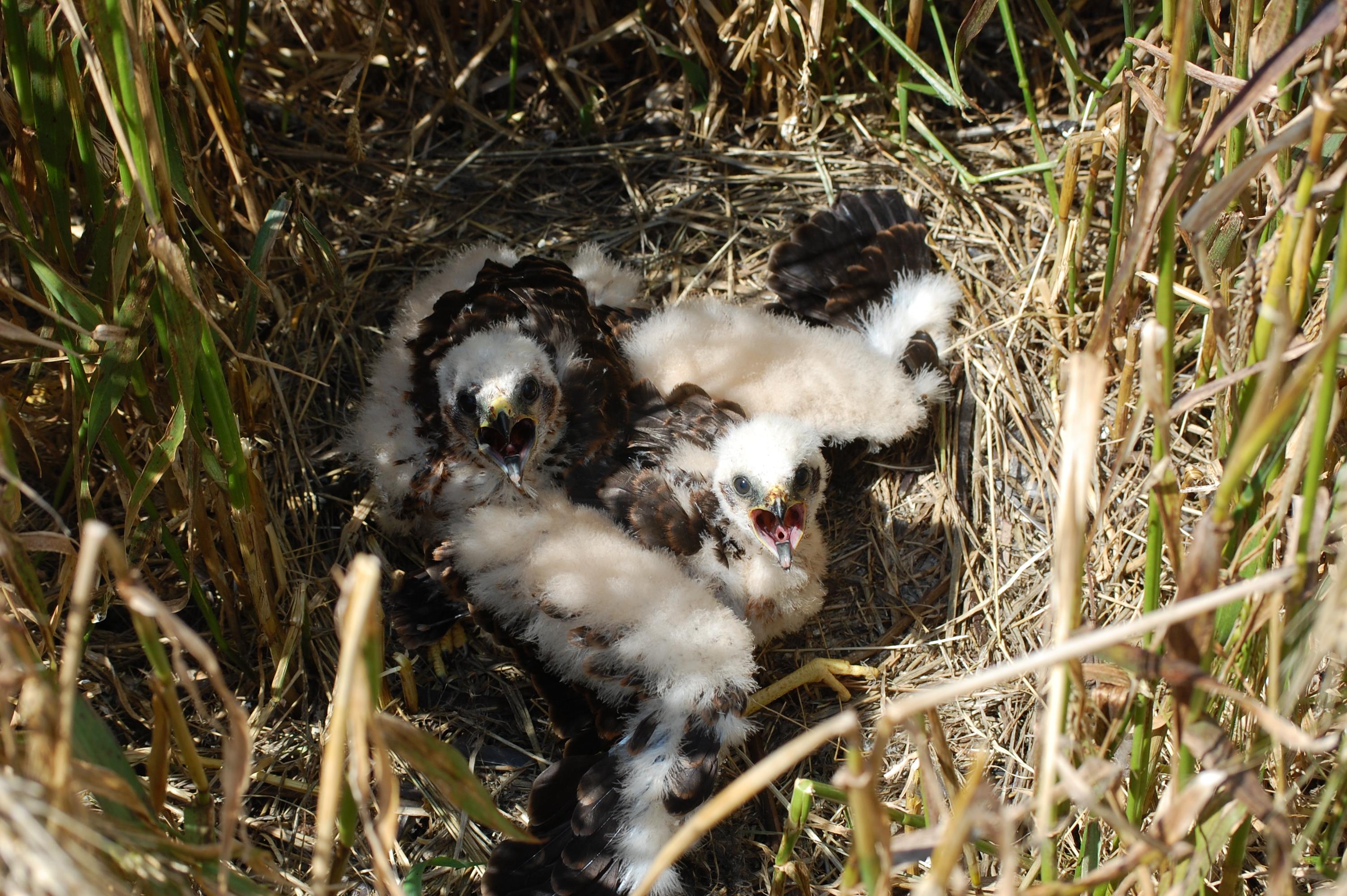 Junge Wiesenweihen im Nest